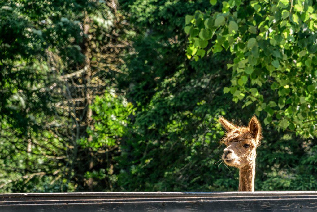 An alpaca on the Kingsbrae Horticultural Garden Inc.