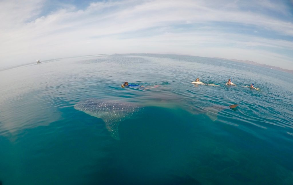 Whale sharks in the Gulf of California.