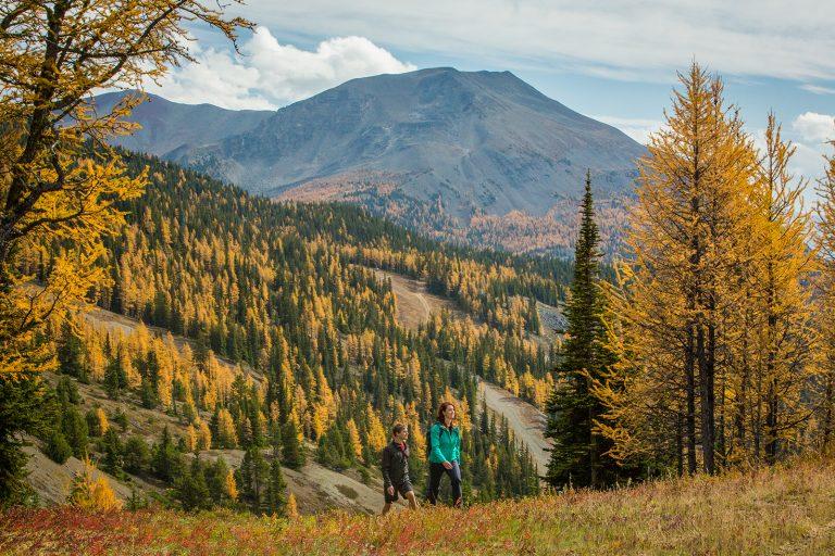 hikers, larch trees, banff, alberta, rockies