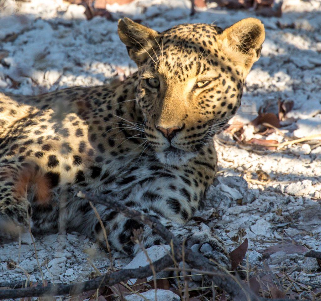 leopard, etosha national park namibia