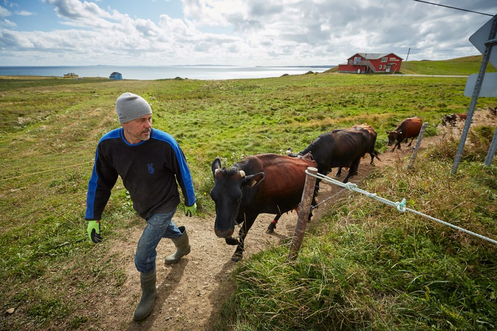 Magdalen Islands cows