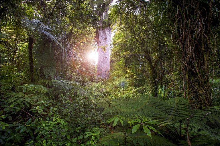 tree, sunlight, forest, New Zealand, Kauri