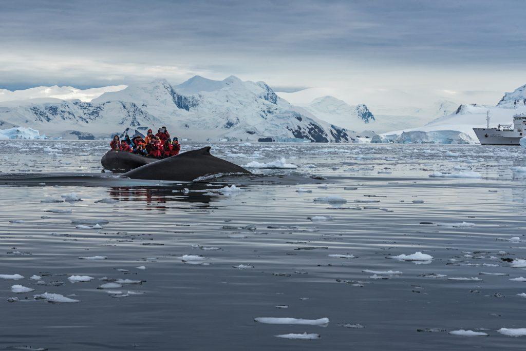 A humpback whale breaches close to a boat.