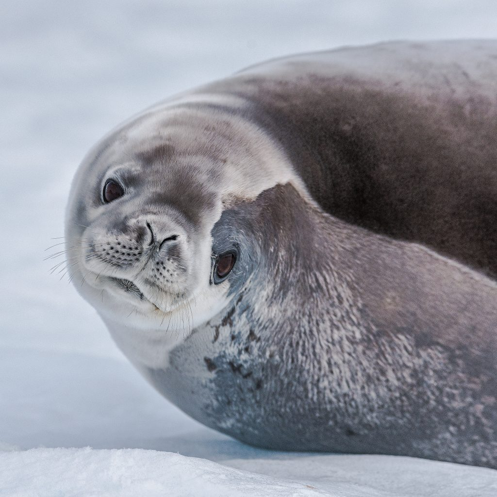 A seal laying on the ice.