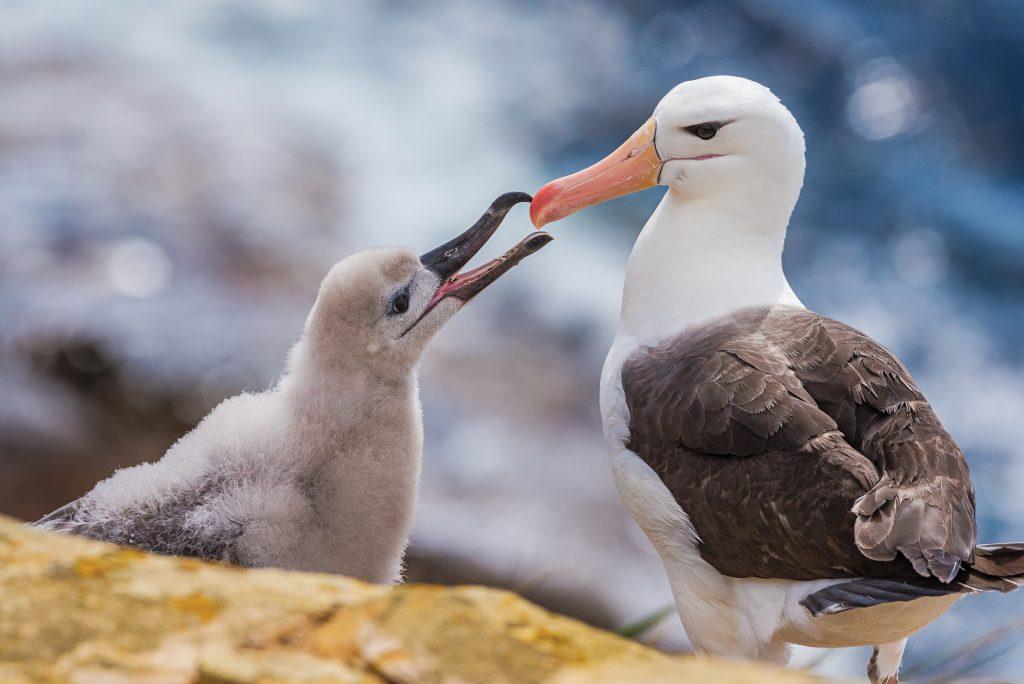 Albatross feeds chick