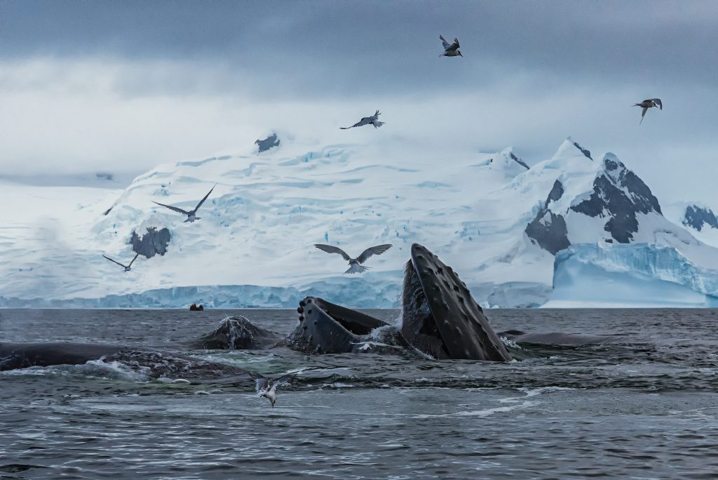Whales breach from artic waters