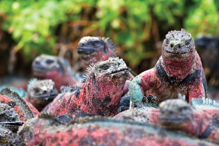 A group of marine iguanas