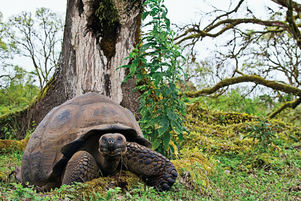 Giant tortoise in front of a tree.