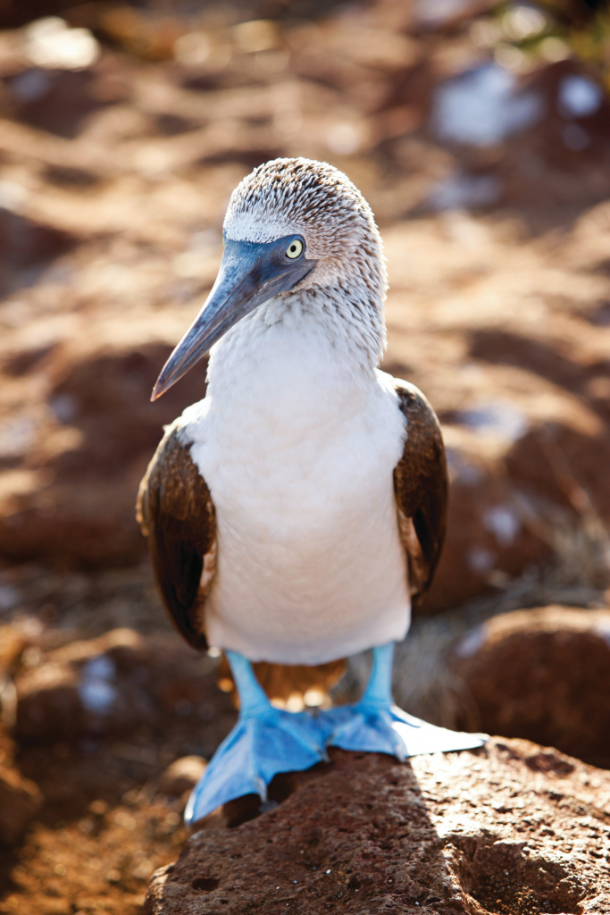 Blue-footed boobie perches on a rock