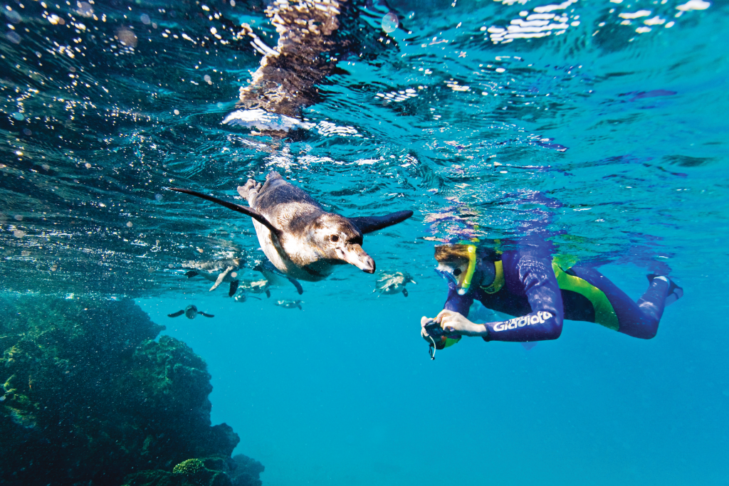 Snorkler snaps an underwater photo of Galapagos penguin