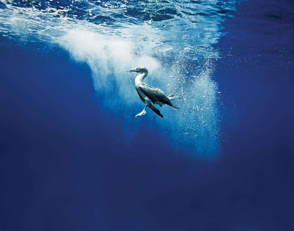 Blue-footed boobie dives underwater