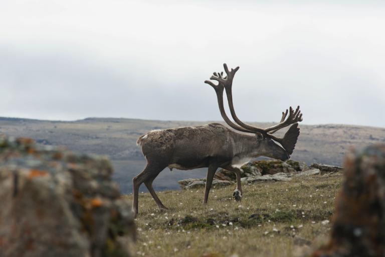 A moose walks across tundra.