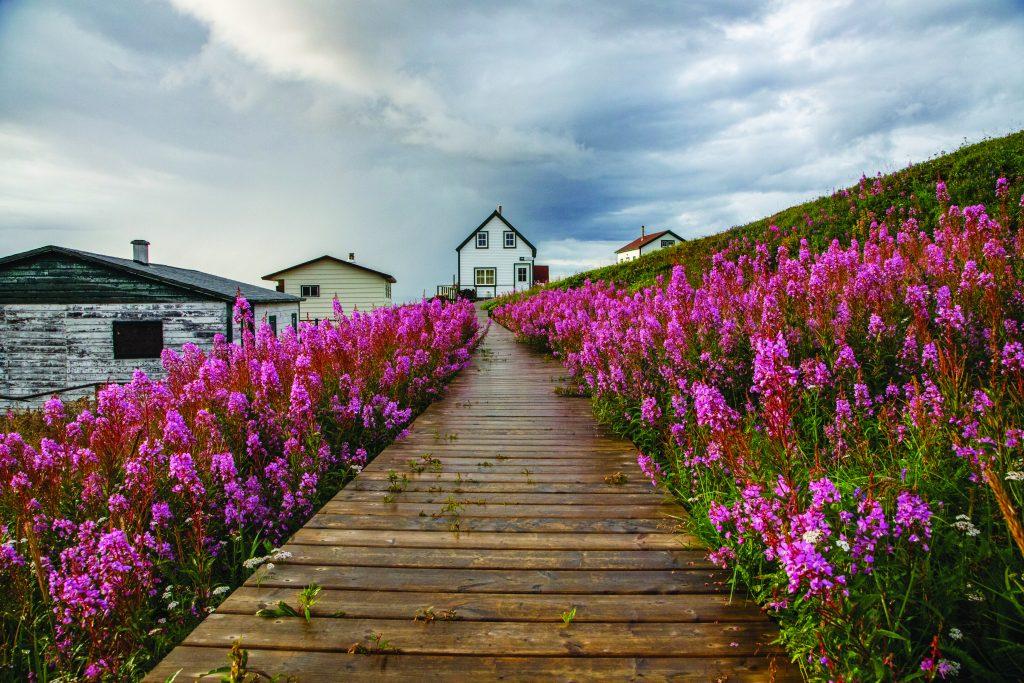 Fireweed flowers line a boardwalk