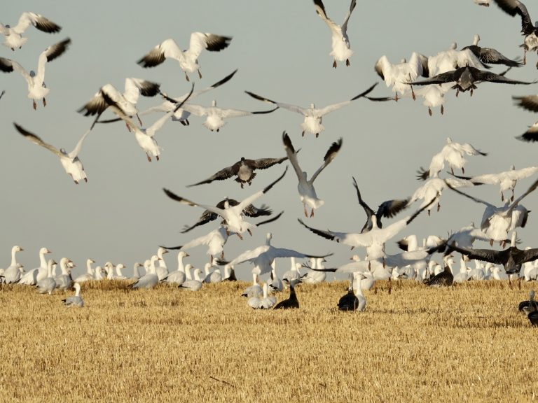 Fall migration of snow geese