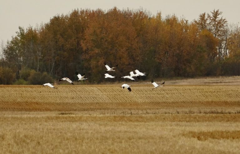 whooping cranes fly across a field