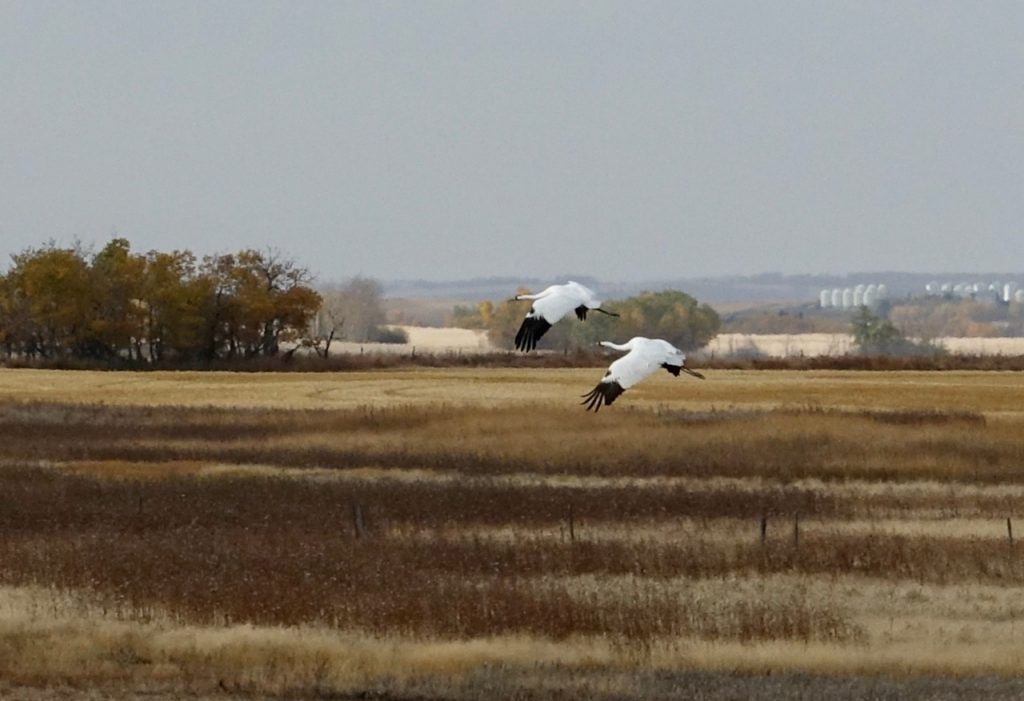 A pair of whooping cranes fly over a field